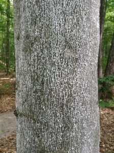 beech-bark-disease-1