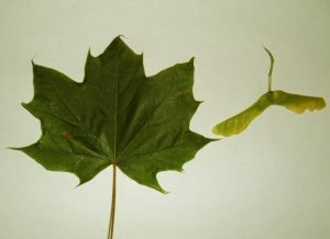norway_maple