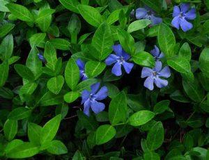 vinca-minor-flowers