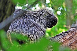 1. Porcupine