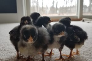 Chicks group