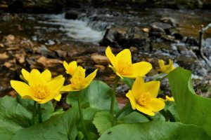 Marsh Marigolds with Mill Creek in background