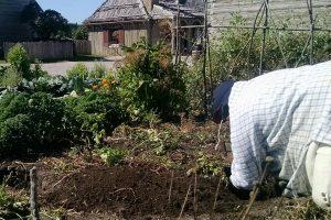 Digging up potatoes at Colonial Michilimackinac.