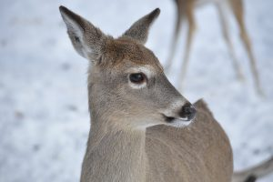 A young deer in winter.